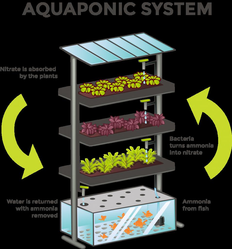 A Geat Source Of Organic Vegetables The Aquaponics